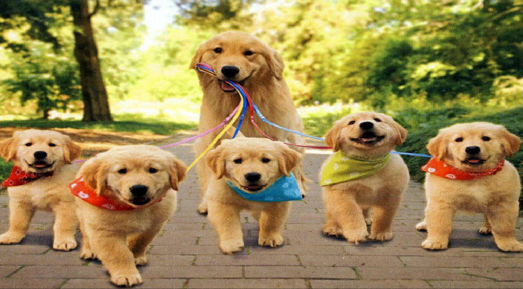 Golden Retriever dog with puppies breed information